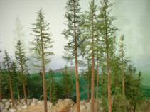 Trees around lumber camp at Timberly